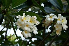 Flores albas do Plumeria bonito ap?s a chuva fotografia de stock royalty free