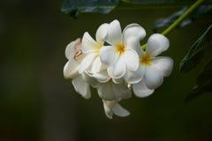 Flores albas do Plumeria bonito imagens de stock royalty free