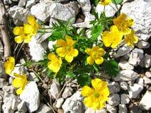 Flores alpestres fotos de archivo