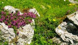 Flores alpestres Foto de archivo libre de regalías