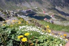 Flores alpestres Imagenes de archivo