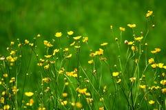 Flores alpestres florecientes Imagen de archivo libre de regalías