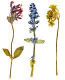Flores alpinas Imagen de archivo libre de regalías