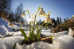 Flores alpinas da neve fotografia de stock royalty free