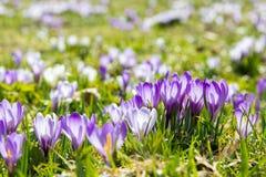 Flores alpinas de Lila e do açafrão branco que florescem na mola em cumes imagens de stock