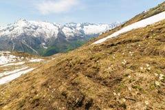 Flores alpinas e paisagem na primavera Fotografia de Stock Royalty Free