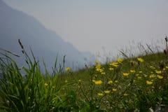 Flores alpinas en montañas fotos de archivo libres de regalías