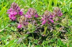 Flores alpinas: Lousewort verticilado (verticillata de Pedicularis) foto de archivo libre de regalías