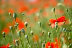 Flores - amapolas - campo Imágenes de archivo libres de regalías