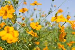 Flores amarelas Imagens de Stock Royalty Free
