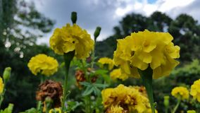 Flores amarelas Imagem de Stock