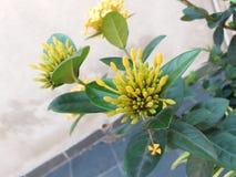 Flores Amarelas Arkivfoto