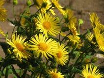 Flores amarelas Imagem de Stock Royalty Free