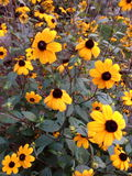 Flores amarelas Foto de Stock Royalty Free