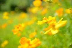 Flores amarelas abstratas borradas dentro fora Imagem de Stock Royalty Free