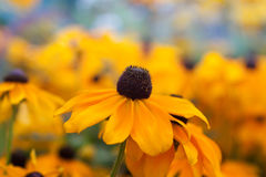 Flores amarelas bonitas Fotos de Stock