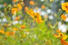 Flores amarelas bonitas Fotografia de Stock