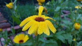 Flores amarelas bonitas Imagens de Stock Royalty Free
