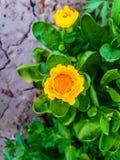 Flores amarelas bonitas || com folhas verdes foto de stock royalty free