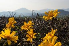 Flores amarelas bonitas com fundo dos lanscapes das montanhas foto de stock royalty free