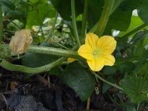 Flores amarelas bonitas do cantalupo ou do pepino imagem de stock