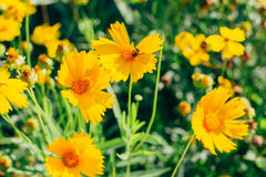Flores amarelas bonitas em um bokeh Fotos de Stock Royalty Free