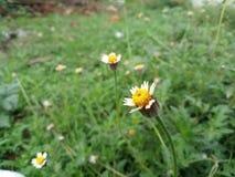 Flores amarelas bonitas na esta??o das chuvas imagens de stock