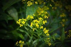 Flores amarelas bonitas na floresta Imagem de Stock Royalty Free