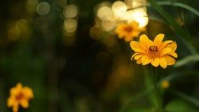 Flores amarelas bonitas na perspectiva de um por do sol do verão na floresta video estoque