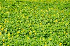 Flores amarelas bonitas no jardim no dia ensolarado Foto de Stock Royalty Free