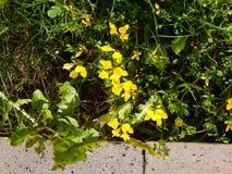 Flores amarelas bonitas que florescem fora com grama verde Foto de Stock Royalty Free