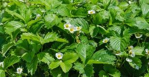 Flores amarelas brancas da morango Fotografia de Stock