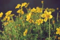 Flores amarelas brilhantes Imagem de Stock
