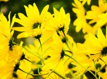 Flores amarelas brilhantes bonitas com fundo Flor do verão fotos de stock