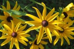 Flores amarelas brilhantes com marrom no centro Fotos de Stock