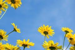 Flores amarelas brilhantes contra um céu azul do verão tomado um baixo ponto do vieuw Foto de Stock Royalty Free
