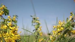 Flores amarelas brilhantes de florescência do corinto dourado vídeos de arquivo