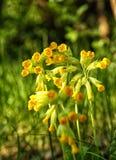 Flores amarelas brilhantes do lungwort contra da grama verde Fotografia de Stock Royalty Free