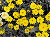 Flores amarelas brilhantes do zinnia no tom preto e branco Foto de Stock