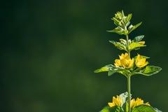 Flores amarelas brilhantes em uma obscuridade - fundo verde foto de stock