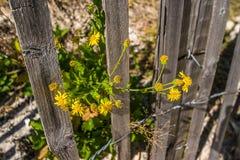 Flores amarelas cercadas Fotografia de Stock Royalty Free