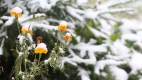 Flores amarelas cobertas com a primeira neve vídeos de arquivo
