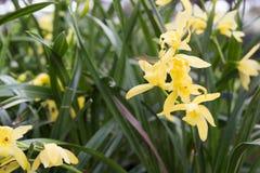 Flores amarelas com backup verde das folhas imagens de stock royalty free