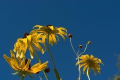 Flores amarelas com o céu azul bonito Fotografia de Stock Royalty Free