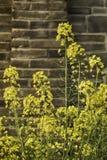 Flores amarelas contra uma parede de tijolo Imagem de Stock