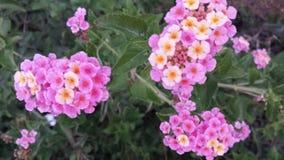 Flores amarelas cor-de-rosa fotos de stock royalty free