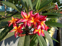 Flores amarelas cor-de-rosa vermelhas do plumeria ou do frangipani Imagens de Stock Royalty Free