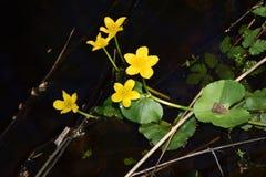 Flores amarelas da água Foto de Stock