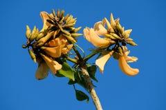 Flores amarelas da árvore coral na mola imagem de stock royalty free