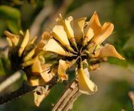 Flores amarelas da árvore coral na mola fotografia de stock royalty free